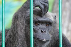 sad chimpanzee